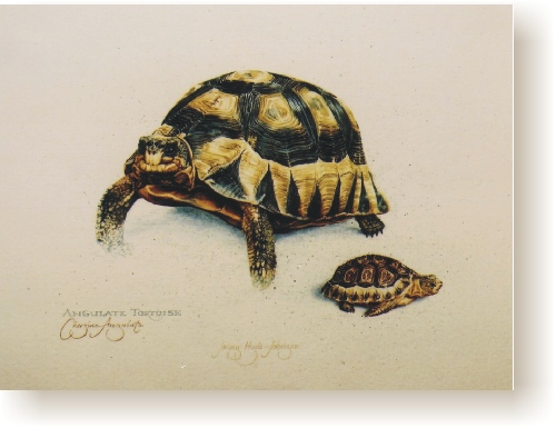 th_cape_angulate_tortoise.jpg (75786 bytes)