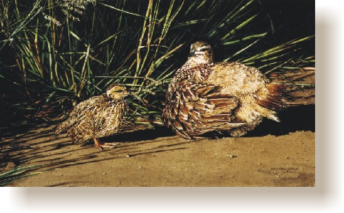 th_crested_francolin_and_chick.jpg (80573 bytes)