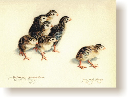 th_helmeted_guineafowl_chicks.jpg (67346 bytes)